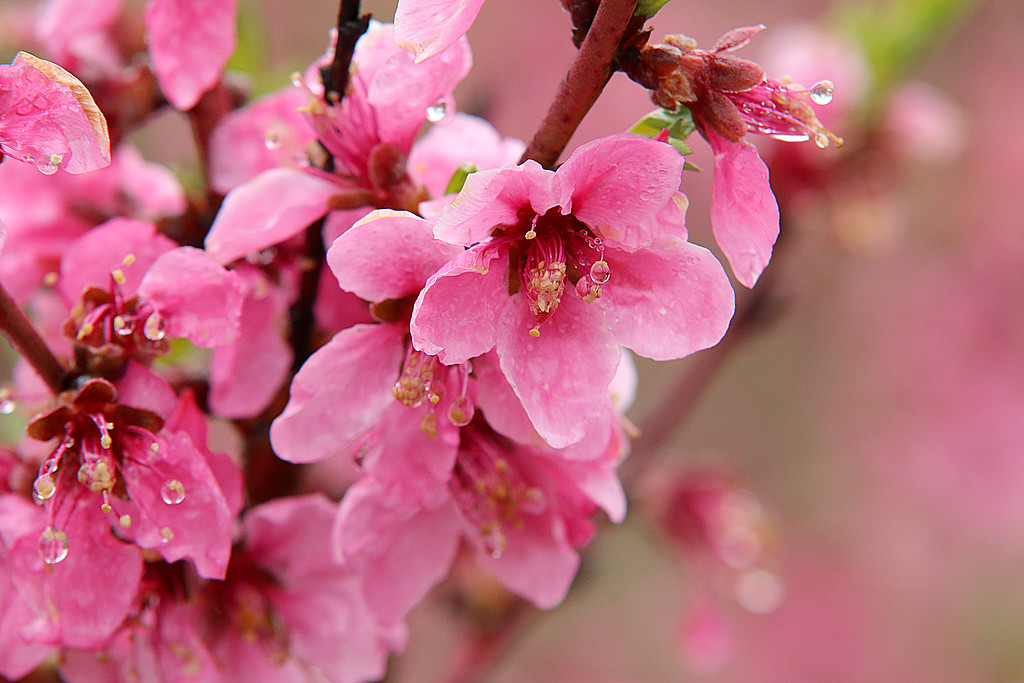 . The peaches blossoms at Hill Orchard in Westford on Wednesday, April 26, 2017. Farmers were pleasantly surprised to see blossoms on their peach trees this year after last year\'s crop failure in the state due to the harsh winter. SUN/JOHN LOVE