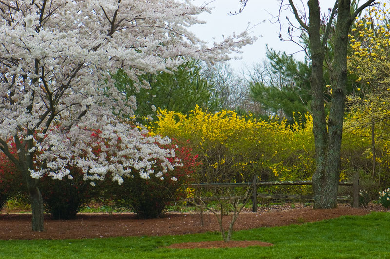 From left to right... Yoshino Cherry, Quince,and Forsythia hedge