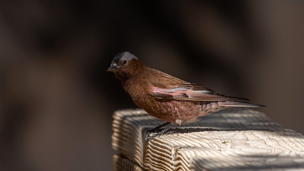Mono County Bird Image Library