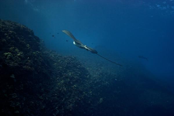 Spotted eagle ray ( Aetobatus narinari)