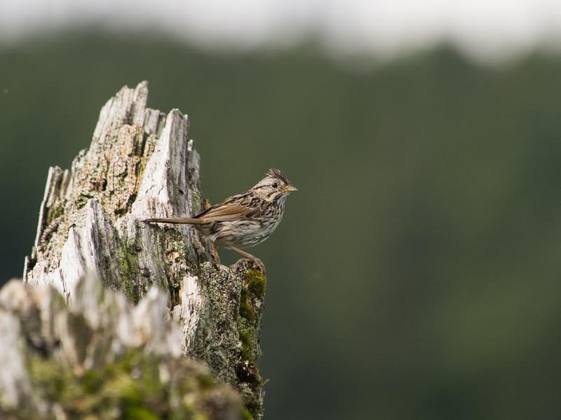 Sparrow at Mendenhall Game Refuge