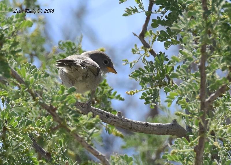 Juvenile Verdin - 4/3/2016 - Agua Caliente County Park