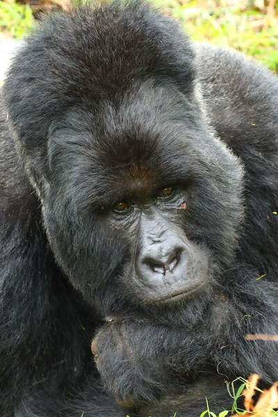 Gorilla0026.JPG