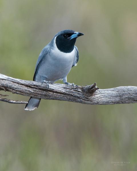 Masked Woodswallow, Gluepot, SA, Aug 2012.jpg