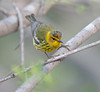 cape may warbler, male spring, Forest Park, NY