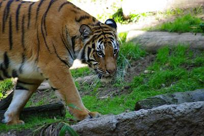 Jin & Seri - San Diego Zoo Tigers - Feb 14, 2010