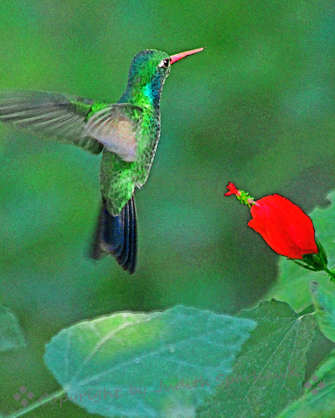 Broad-billed Hummingbird ~ I used a filter to alter the look of this image, providing more texture and richer colors.