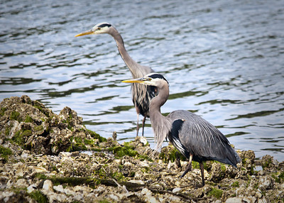 Heron and one lonely eagle at Big Beef Creek