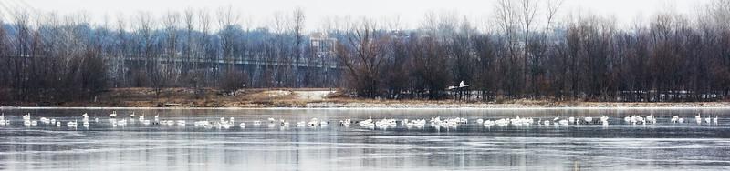 Swans in a row.jpg