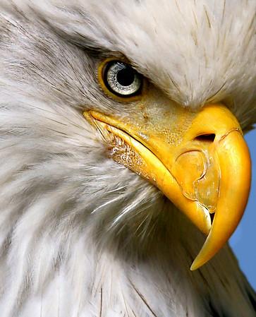 Bald Eagles of Lake Waco