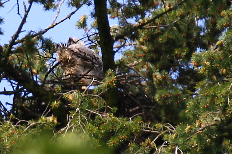 May 23, 2012  This baby is moving from the left side of the nest to the right...you can really get a good view of the underside of his wing.  I thought for a moment one of the parents was in there he is getting so brown