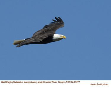 Bald Eagle A23777.jpg
