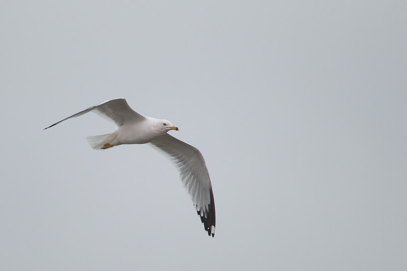 Ring-billed Gull - Point Reyes National Seashore, CA, USA