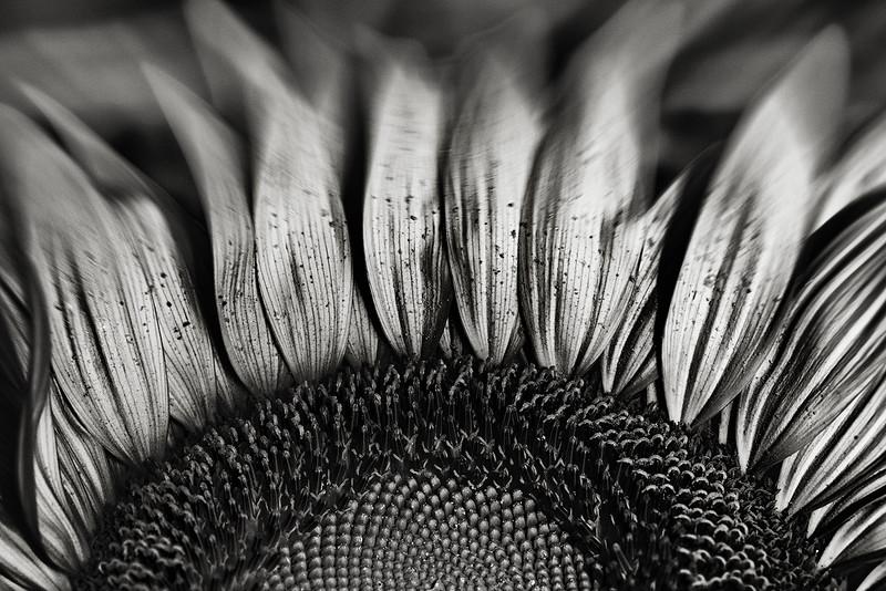 sunflower, silver dissolution
