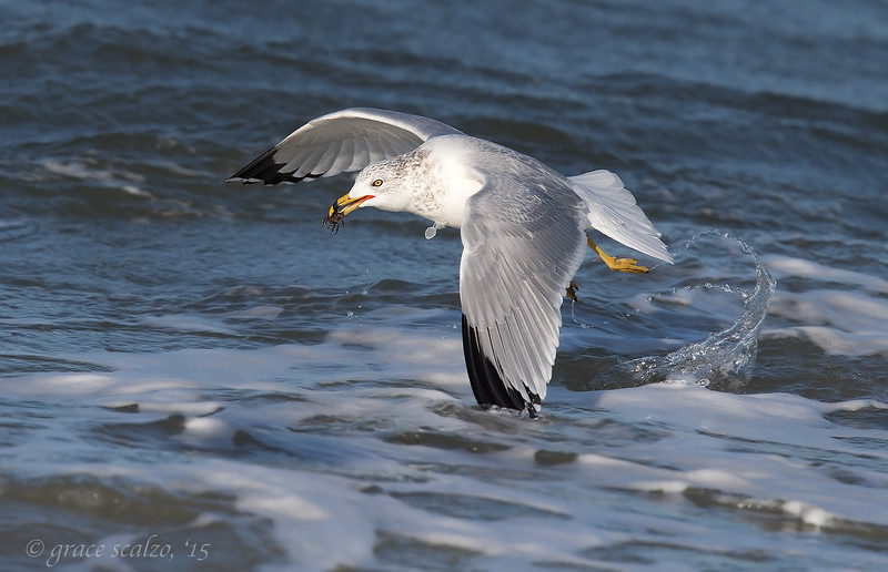 Ring-billed gull with spider crab