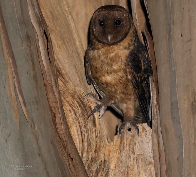 Masked Owl, Port Arthur, TAS, Sept 2016-2.jpg