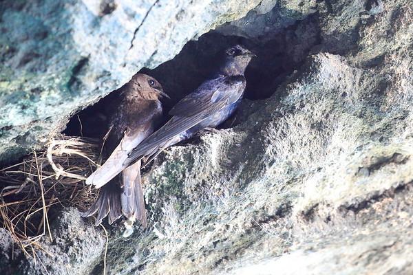 Swift Galapagos