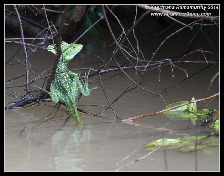 Common Basilisk(Jesus Lizard), Cano Negro Wildlife Refuge, Costa Rica, November 2014