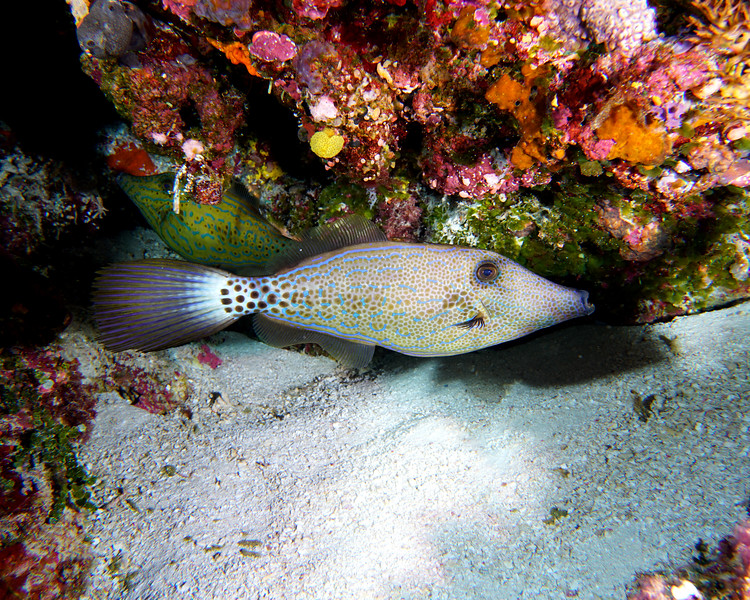 Scrawled Filefish