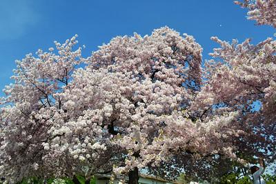 DC Cherry Blossom's 2012