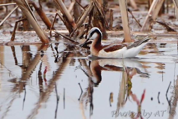 2013-04-28 Riverlands Migratory Bird Sanctuary - Columbia Bottom CA