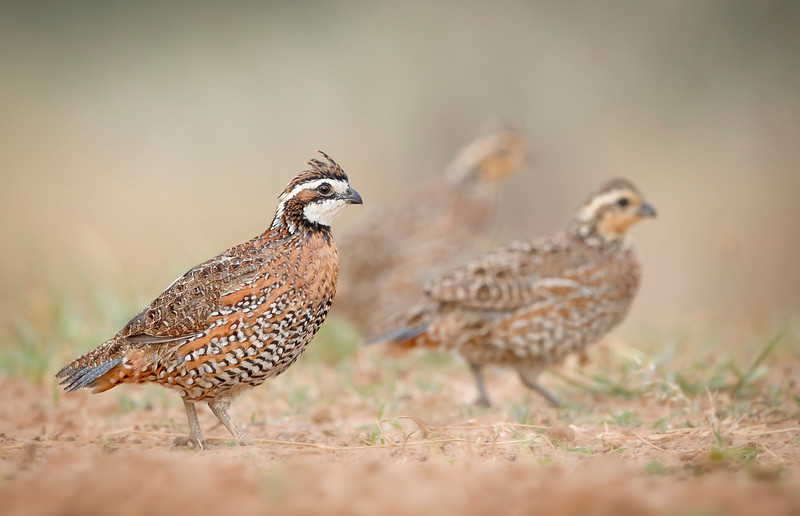 March of the Bobwhites