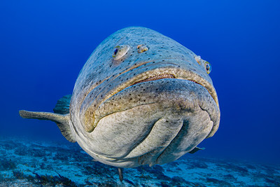 Florida, Grouper Aggregation, Blackwater 2021