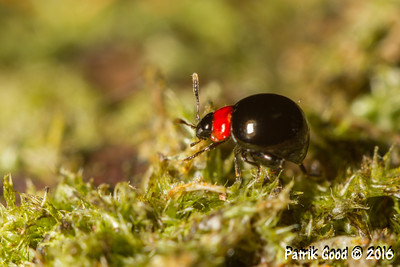 Red-necked Beetle