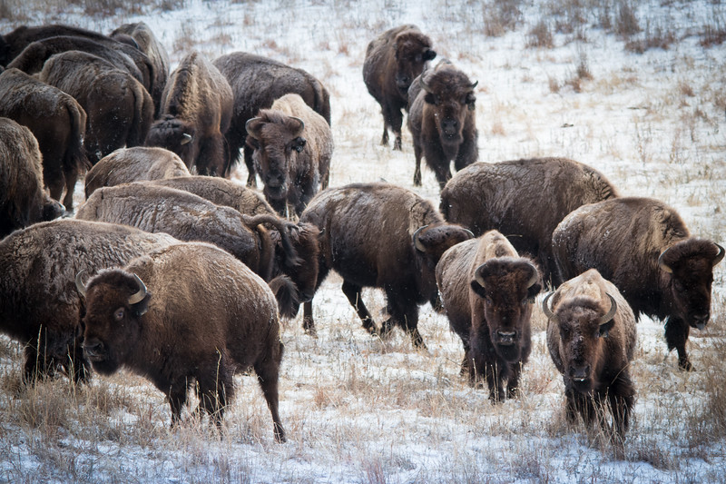 Buffalo Hunt (11).JPG