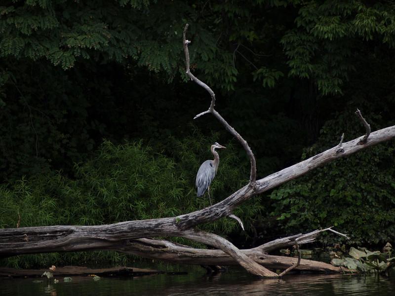 Heron on Delaware.jpg