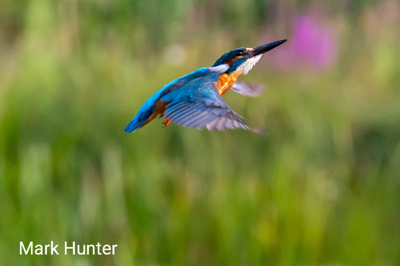 Kingfisher Ascending