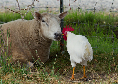 Rooster and Ram