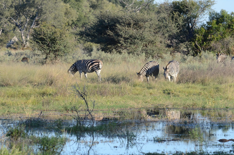 65 - Zebra - Chitabe - Anne Davis