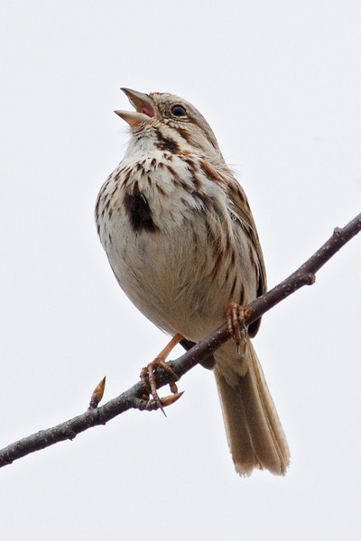 Sparrow - Song - Steamboat Park - Grand Rapids, MN