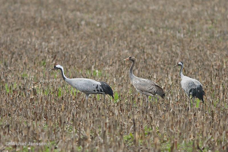 Grus grus - Kraanvogel - Common Crane - Grulla común