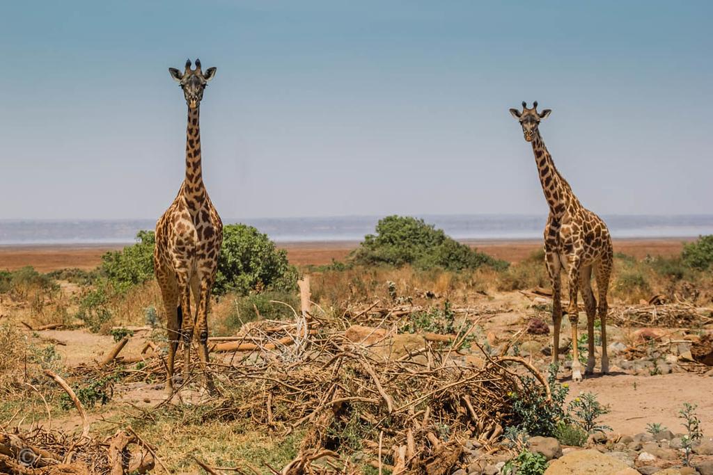 Giraffes seen on a Tanzania Safari