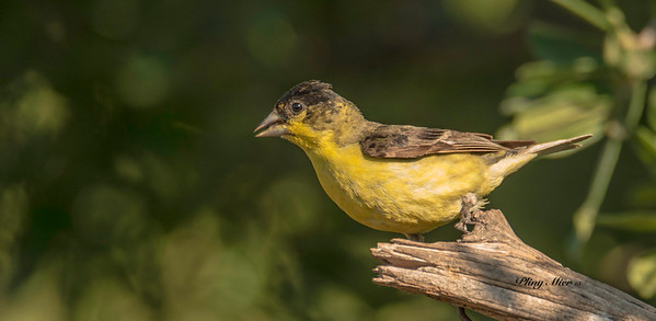 Lesser Goldfinch_DWL8615.jpg