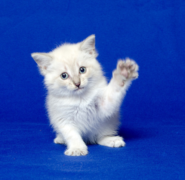 Cute baby cat playing on blue background