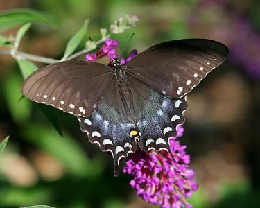 Black Swallowtail 08-09-08