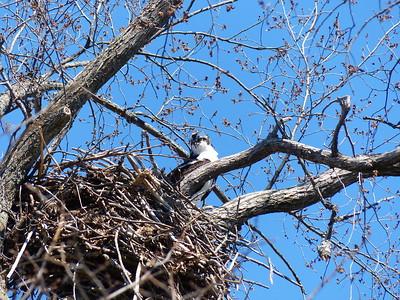 20170418 Osprey Nest