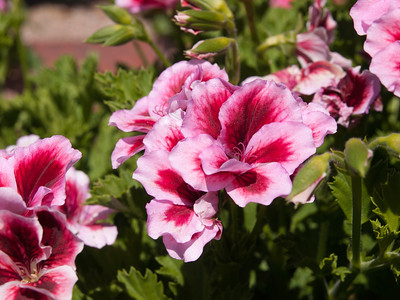 Geranium (Regal) - Candy Flowers Strawberry Cream