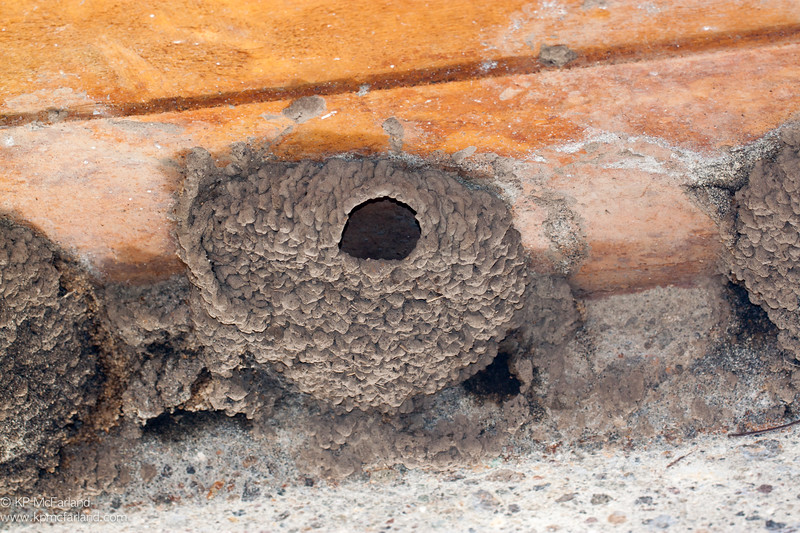 Cliff Swallow nest under bridge