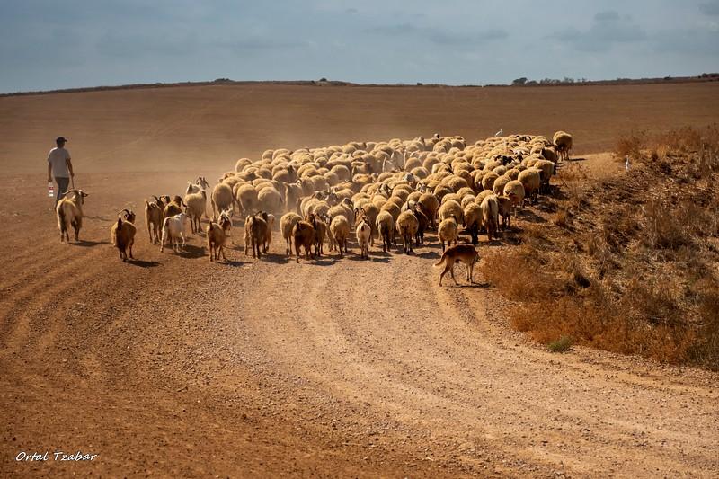 הרועה והכבשים 3.jpg