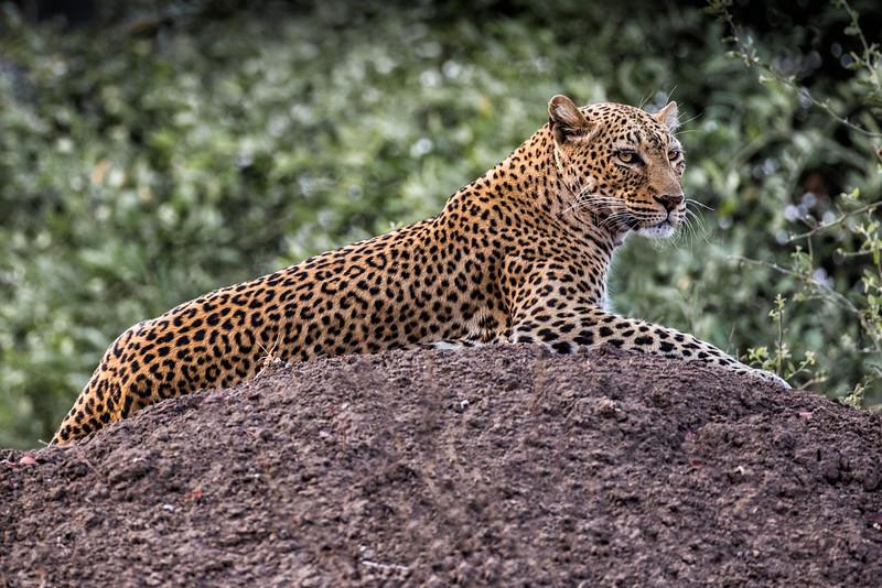 Annie Nash   Leopard on termite mound.jpg
