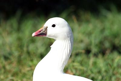 Ducks,Geese,Swans