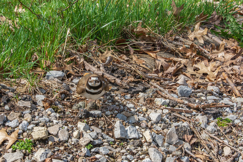 Pickle-Killdeer-guarding4eggs-4.14b.jpg