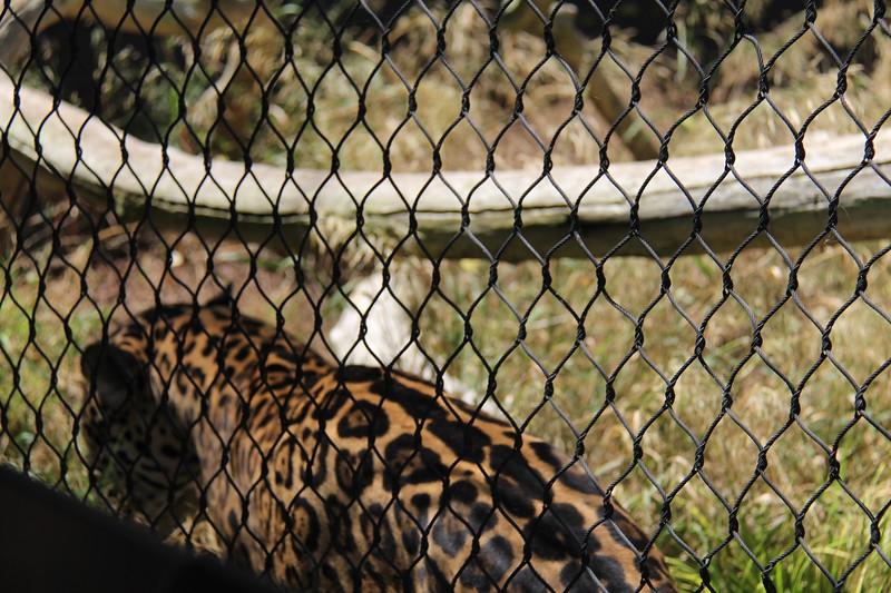 20170807-098 - San Diego Zoo - Leopard.JPG