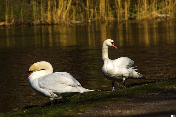 Swans in March. / Svaner i mars.