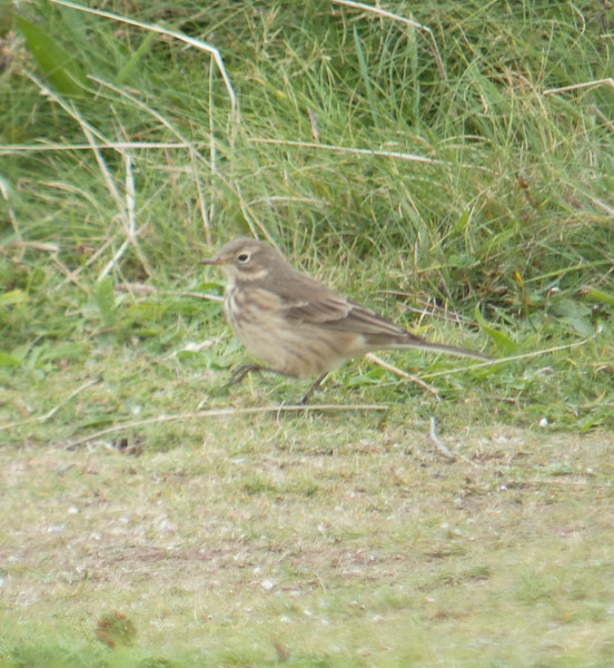 **** Pipit, Buff Bellied