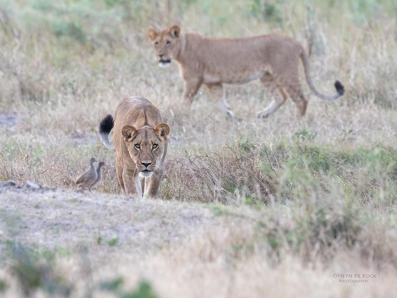 African Lion, Savuti, Chobe NP, Botswana, May 2017-37.jpg
